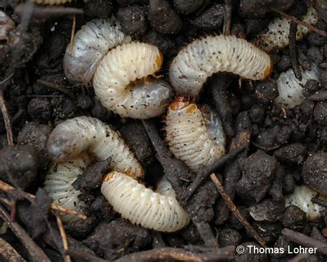 larven im garten rosenk 228 fer auf arbofux diagnose datenbank f 252 r geh 246 lze