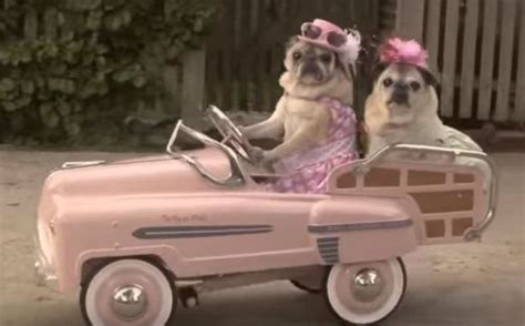 pugs in the car omg two stylish pugs driving a pink car is beyond