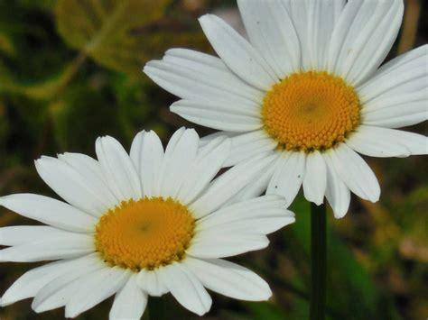 fiori camomilla foto gratis flora natura fiore giardino estate