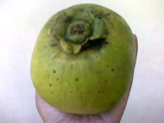 Tanaman Mame Sapote Sawo Jumbo bibit buah bunton malang macam macam sawo