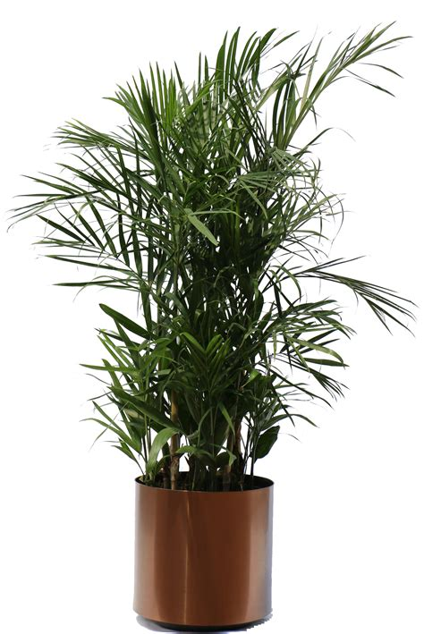 Home Interior Decorations by Seifrizeii Palm Hawaiian Tropical Plant Sales