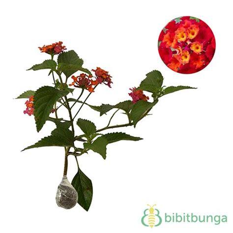 Tanaman Bunga Lantana Merah tanaman tembelekan merah lantana bibitbunga