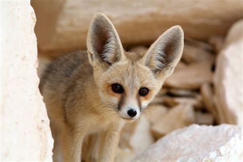 best fox pictures 7 facts about the fennec fox mnn nature network
