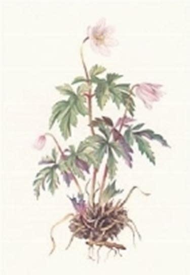 anemone fiore significato anemone linguaggio dei fiori anemone linguaggio dei