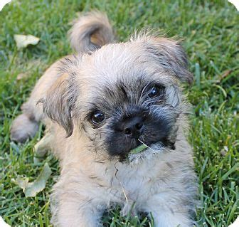 border terrier pug pretzel adopted puppy la habra heights ca pug border terrier mix
