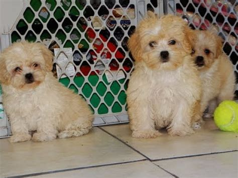 teacup puppies for sale in tn pekapoo puppies for sale in tennessee tn 19breeders clarksville