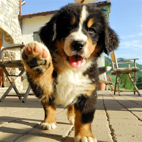 burmese mountain these pictures of bernese mountain puppies lead to alpine ecstasy