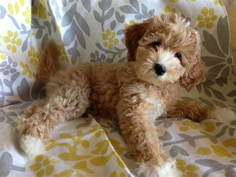 doodle puppy australian multigen labradoodle puppies in california