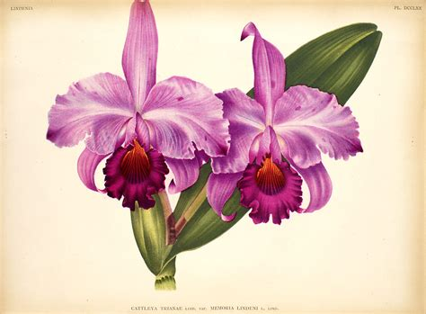 cattleya tattoo cattleya orchid drawings www pixshark images