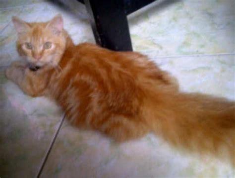 Harga Medium kucing medium ciri khas cara merawat dan harganya