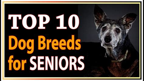 best breeds for seniors top 10 best breeds for seniors and retirees dogs 101 funnydog tv