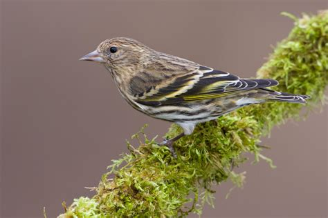 pine siskin audubon field guide