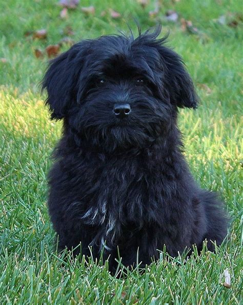 havanese circus dogs 67 best dogs havanese images on dogs adorable puppies and baby