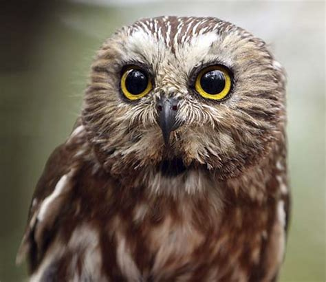 nature canada who s there identifying owl calls