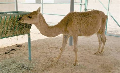 cama hybrid a cama is a hybrid of a male camel and a female llama and