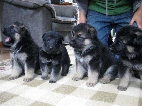 german shepherd puppies for sale las vegas dogs nevada free classified ads