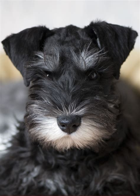 black miniature schnauzer puppies file miniature schnauzer puppy blackandsilver jpg