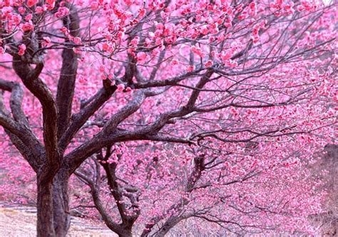 alberi fioriti alberi fioriti disordine ordinato