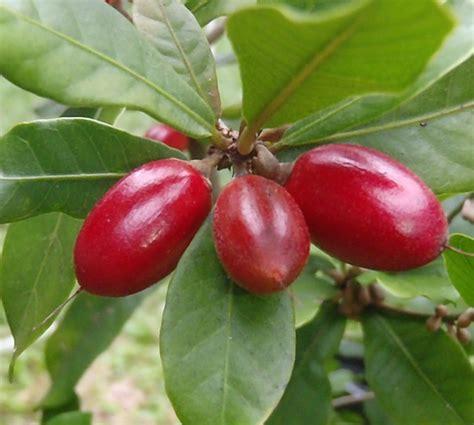 Custom Fruit Buah Tambah Nama tanaman miracle fruit buah ajaib