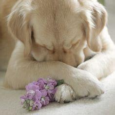 golden retriever praying golden retriever on golden retriever puppies golden retrievers and