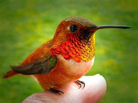 been humming bird only found in cuba cute animals