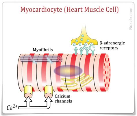 cardiac cell diagram cardiac structure