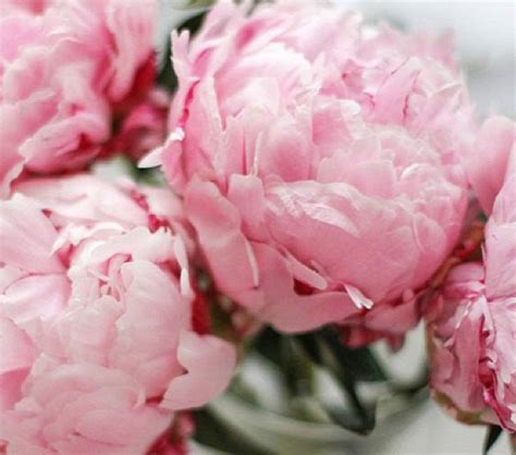 dwell and tell pink peonies pink peonies www imgkid com the image kid has it