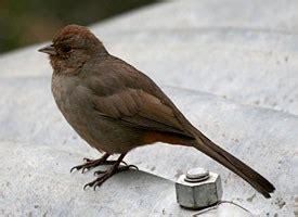 backyard birds of southern california california towhee identification all about birds