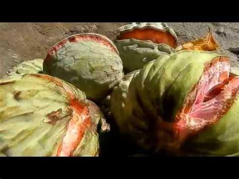 paternas de el salvador anona anonas anono frutas de centroam 233 rica daikhlo