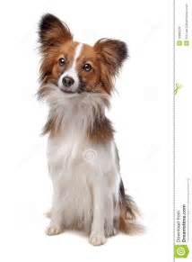 papillon dog royalty free stock image image 18380936
