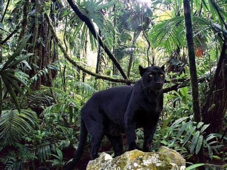 panther in forest cats wallpaper id 1186463 desktop
