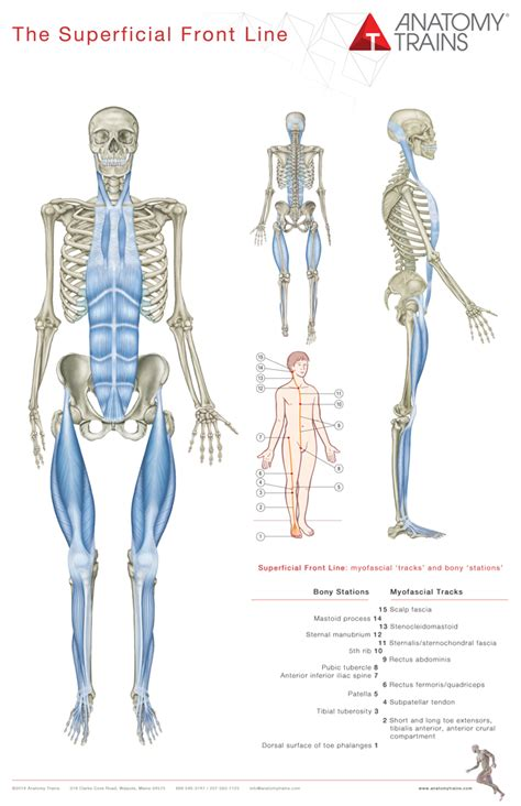 cadenas musculares thomas myers pdf anatomy trains 3rd edition posters redesigned set of 8