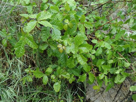poison oak images dan s hiking pages poison oak toxicodendron diversilobum