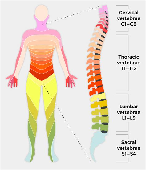 spinal cord injury diagram spinal cord injury and how it affects back up