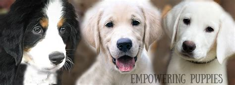 golden retriever mn breeders mini golden retriever breeders in mn dogs in our