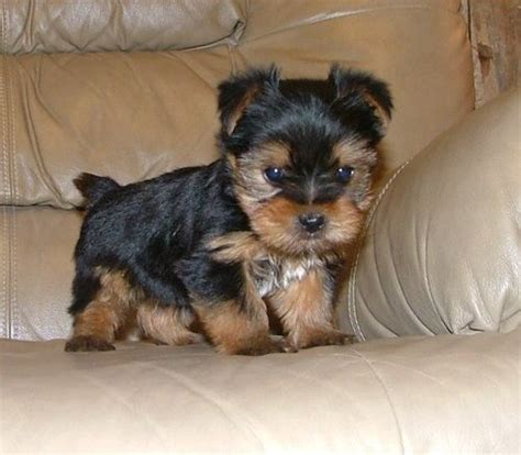 alabama yorkie breeders and teacup yorkie puppies for adoption albertville al asnclassifieds