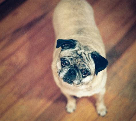 pug begging about pug pugs pugs pug stories all pugs
