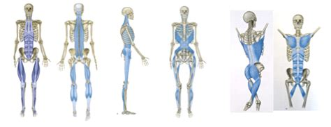 cadenas musculares thomas myers pdf scientific support of myofascial connections systematic