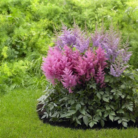 Growing Astilbes Hgtv Planting A Perennial Flower Garden