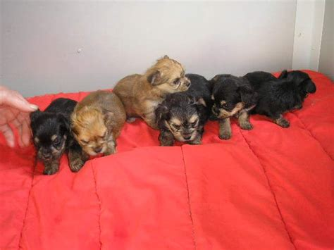 chihuahua x yorkie puppies for sale chihuahua x terrier puppies for sale congleton cheshire pets4homes