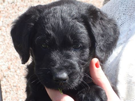 labradoodle dogs chunky bouncy labradoodle puppies ready now arbroath angus pets4homes