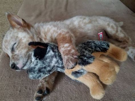 newborn blue heeler puppies 25 best cattle dogs ideas on adorable animals facts about puppies and