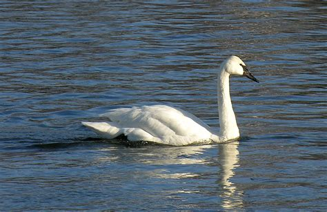 magickcanoe com blog 187 blog archive 187 where are the swans