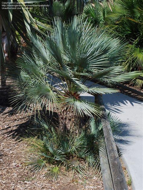 blue mediterranean fan palm for sale plantfiles pictures blue mediterranean fan palm