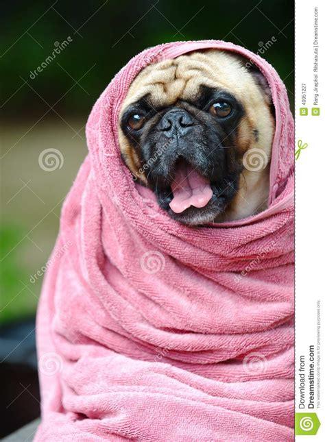 pug spa pug at the spa stock photo image 40951227