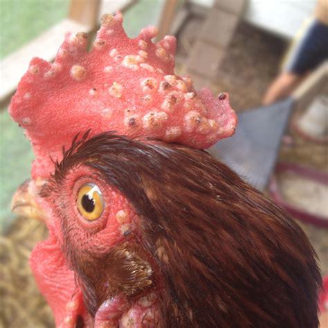 fowl pox poultrydvm