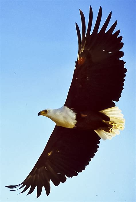 Flying Eagle Fast Blade Black Blue file fish eagle flying cropped jpg wikimedia commons
