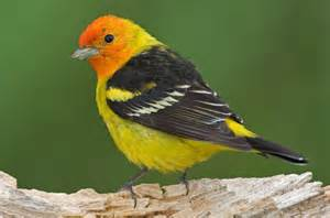 Western tanager attracting birds birds and blooms