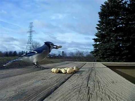 do blue jays like peanuts blue jays peanuts