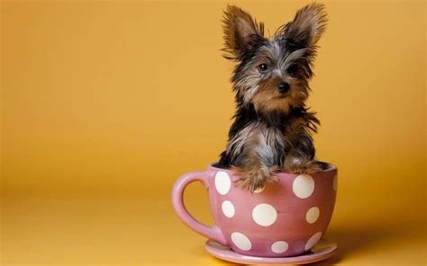 teacup puppy breeds top 6 teacup breeds how to choose the right for you